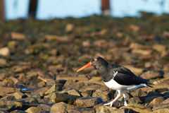 Magellanic Oystercatcher Royalty Free Stock Photo