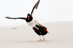 Magellanic Oystercatcher mating Stock Image