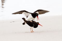 Magellanic Oystercatcher mating Royalty Free Stock Photos