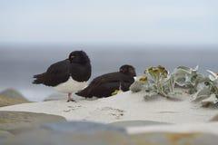 Magellanic Oystercatchers on a sandy beach Stock Photography