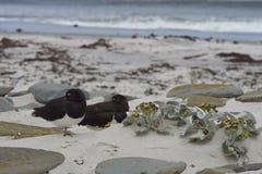 Magellanic Oystercatchers on a sandy beach Stock Photo