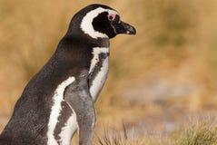 magellanic patagoniapingvin Royaltyfri Fotografi