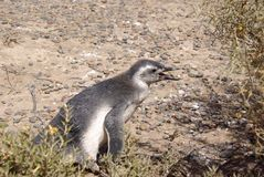 magellanic patagoniapingvin Royaltyfria Bilder