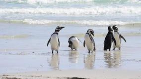 Magellanic Penguin στην παραλία απόθεμα βίντεο
