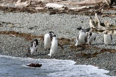 Magellanic Penguin στο νησί του Tucker Χιλή στοκ φωτογραφίες