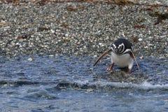 Magellanic Penguin στο νησί του Tucker Χιλή στοκ φωτογραφία με δικαίωμα ελεύθερης χρήσης