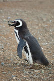 Magellanic penguin Stock Photo