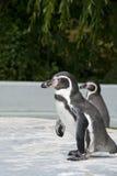 Magellanic Penguin. Spheniscus magellanicus, or South American penguin Stock Images