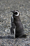 Magellanic penguin. In estancia harberton, ushuaia Patagonia Argentina Royalty Free Stock Photo