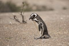 Magellanic penguin Stock Images