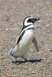Magellanic penguin Royalty Free Stock Photo