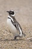Magellanic penguin Stock Image