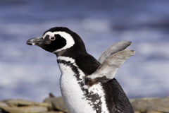 Magellanic Penguin. Portrait of single magellanic penguin facing left with wings outstreched and blurred blue ocean as background George Island Falklands Stock Photos