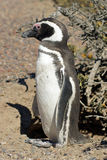 Magellanic Penguin, Argentina Royalty Free Stock Photos