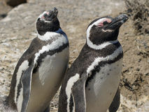 Magellanic Penguin, Argentina Stock Photography