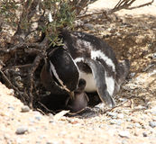 Magellanic penguin with baby bird. Mothers care. Royalty Free Stock Images