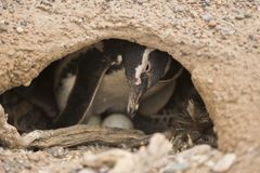 Magellanic penguin brooding Royalty Free Stock Image