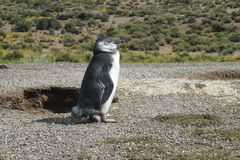 Magellanic penguin in bush Royalty Free Stock Photography