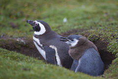 Magellanic Penguin and chick on the Falkland Islands. Adult Magellanic Penguin [Spheniscus magellanicus] with a nearly fully grown chick next to its burrow on Stock Photo