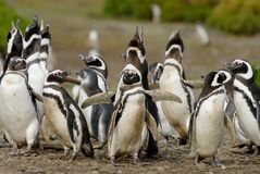 Magellanic Penguin Colony in Patagonia. Magellanic Penguin (Spheniscus magellanicus) in Patagonia. This is one of the more characteristic species of Patagonian stock images