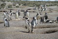 Magellanic penguin colony in Punta Tombo, Argentina Stock Photos