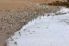 Magellanic Penguin colony of Punta Tombo, one of the largest in the world, Patagonia, Argentina Royalty Free Stock Images