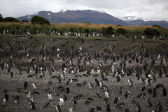 Magellanic penguin colony, Tierra del Fuego Stock Photo