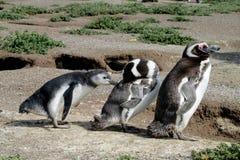 Magellanic penguin family. TheMagellanic penguin(Spheniscus magellanicus) in South America. Pinguin breeding in coastalArgentina,Chile stock images