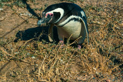 Magellanic penguin Royalty Free Stock Images