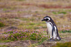 Magellanic penguin goes on flowering tundra Royalty Free Stock Photo