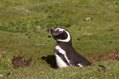 Magellanic Penguin in his nest Royalty Free Stock Photo