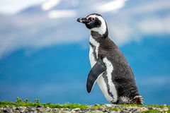 The Magellanic Penguin. On the Islands of Tierra del fuego Islas de Tierra del Fuego, Patagonia, Argentina stock photo
