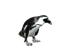 Magellanic Penguin Isolated on White. Magellanic penguin after swimming isolated on white background with clipping path stock photography