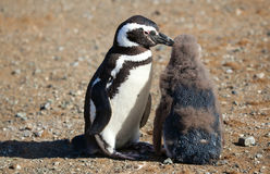 Magellanic Penguin with its nestling. Magellanic Penguin helping its nestling to clear itself from infantile floccus Royalty Free Stock Photo