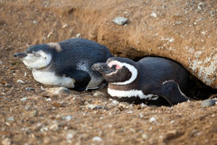 Magellanic penguin and its nestling Stock Images