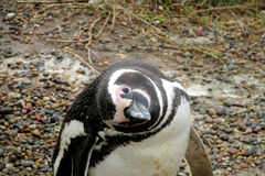 Magellanic penguin looking Stock Images