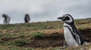Magellanic Penguin,Magdalena Island, Chile Stock Photos