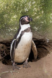 Magellanic-penguin. Magel-lanice penguin before a hole Royalty Free Stock Images