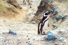 Magellanic Penguin, magellanicus Spheniscus, Isla Magdalena, Παταγωνία, Χιλή εκλεκτικό πλάνο εστίασης υπαίθρια στοκ εικόνες