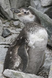 Magellanic penguin moulting among the rocks Royalty Free Stock Photo