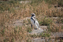 Magellanic penguin at the nest, Punta Tombo, Patagonia Royalty Free Stock Image