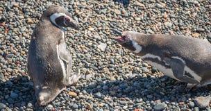 Magellanic penguin at the nest, Punta Tombo, Patagonia Royalty Free Stock Images