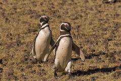 Magellanic Penguin in Patagonia Stock Photography