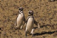 Magellanic Penguin in Patagonia Stock Photography