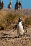 Magellanic Penguin in Patagonia Royalty Free Stock Image