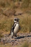 Magellanic Penguin in Patagonia Royalty Free Stock Images