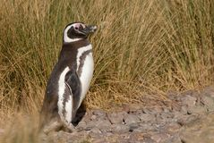 Magellanic Penguin in Patagonia Stock Photo