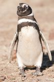 Magellanic Penguin in Patagonia Stock Image