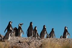 Magellanic Penguin in Patagonia Royalty Free Stock Photos
