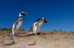 Magellanic Penguin in Patagonia Royalty Free Stock Photos